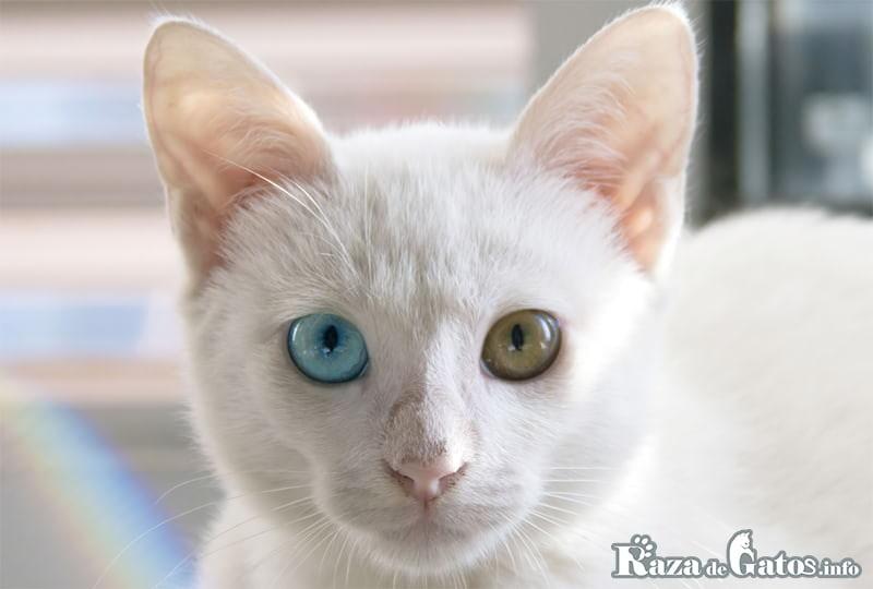 Fotografía del gato Khao Manee.