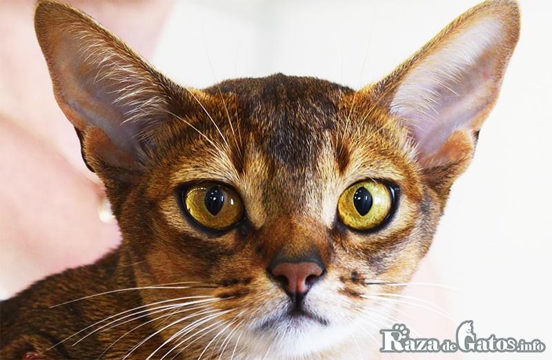 Foto del gato Abisinio.