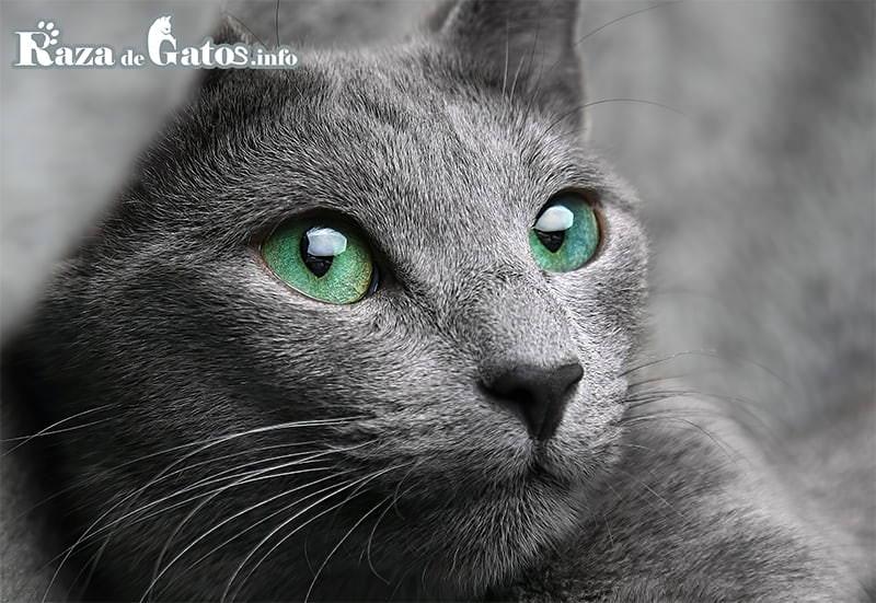 Foto del gatico Azul Ruso.