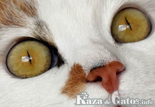Ojos de gato . Es muy importante la limpieza e higiene de tu gato en sus ojos.