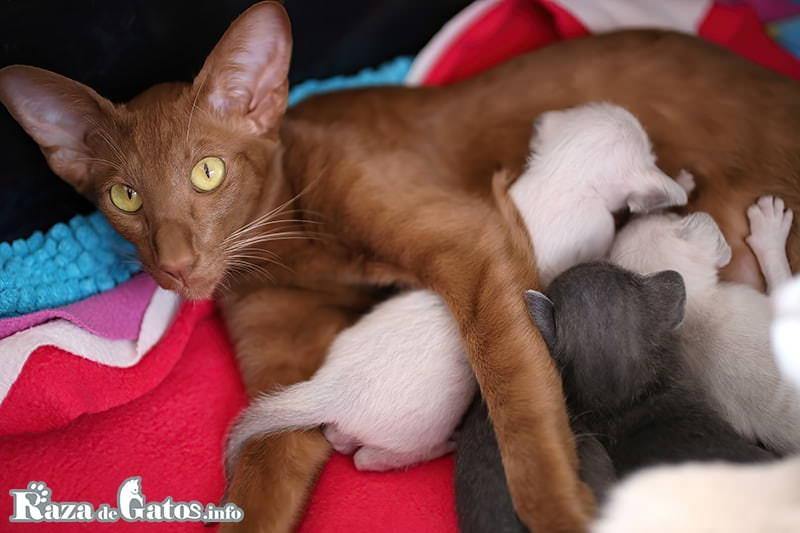 Foto de una Gata de raza Oriental de pelo corto, junto a sus crias bebes recien nacidas y amamantando.