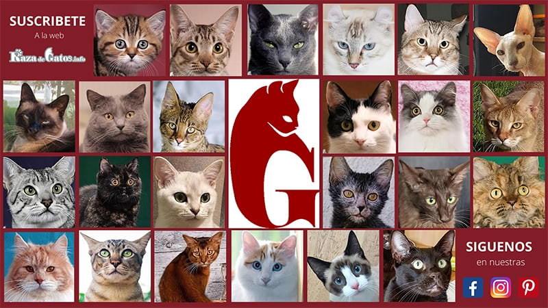 Imágen del logo de razadegatos.info y su redes sociales. Junto a varias imagenes de caras de gatos de raza.