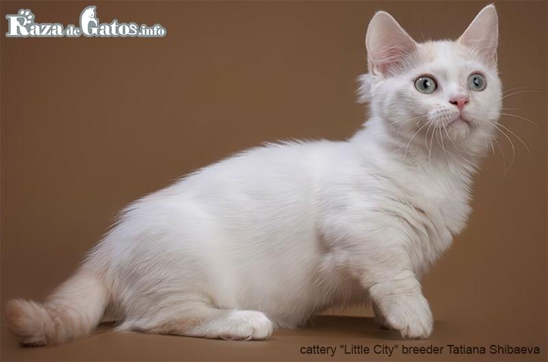 Foto del gatito enano Munchkin.