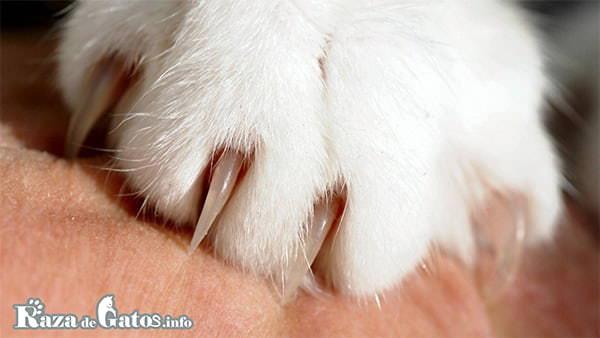 Foto de las garras de un gato (uñas). Las patas de los gatos