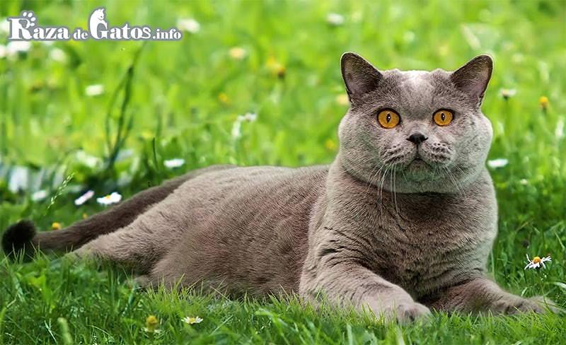 Foto de un dulce minino. El Gato Británico de pelo corto.