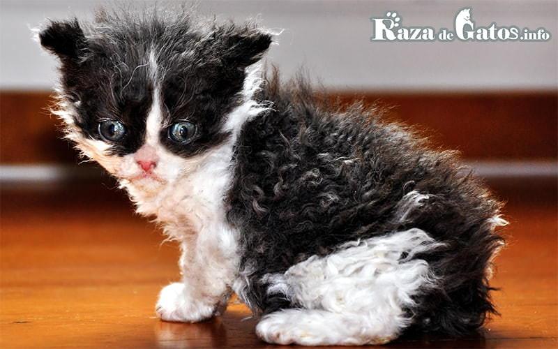 Foto de un gatito Selkirk Rex, con unos hermosos rulos.