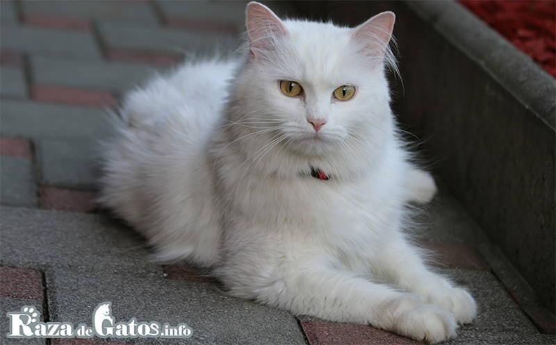 El Gato Angora turco, recostado en una fotografía.