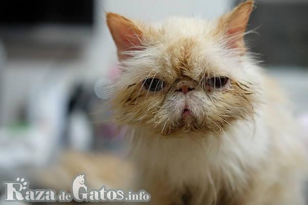 foto de Gato decaído y enfermo mirando de frente. 10 enfermedades en los gatos más comunes.