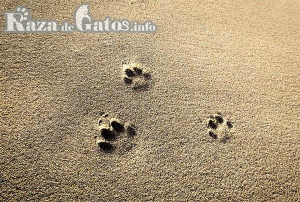 Foto de pisadas de gato en arena. Huellas de gato. Tipos de arena para gatos.