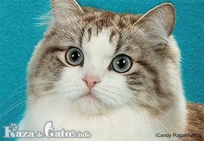 Foto del gatito Ragamuffin