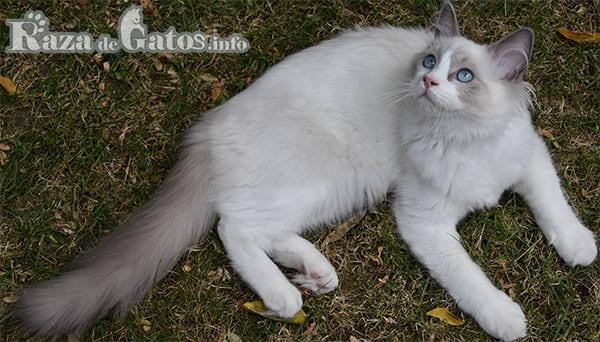 Foto de la raza de gatos Ragdoll. El gato más cariñoso del mundo.