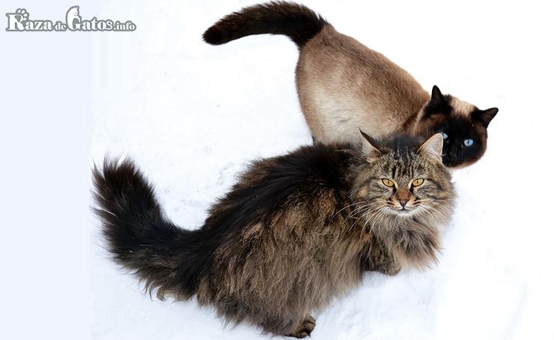 Imagen de un gatito siberiano al lado de un michi thai.