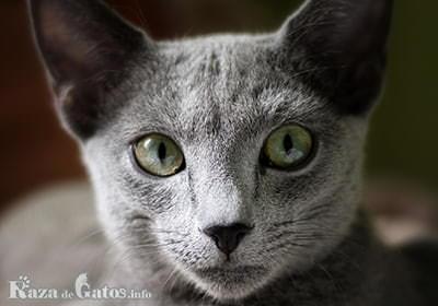 Imágen de la cara del gato Azul Ruso.