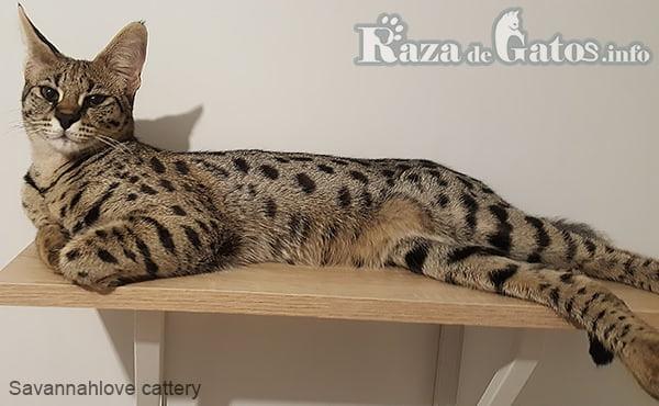 Imagen de la Raza de gato Savannah. Uno de los 5 gatos más grandes del planeta.