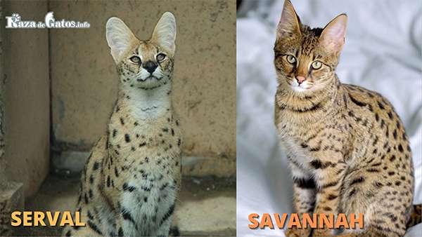 Gatos de raza con antepasados Salvajes - Fotografía del Serval africano y el gato savannah