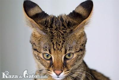 Foto del Gato Savannah.