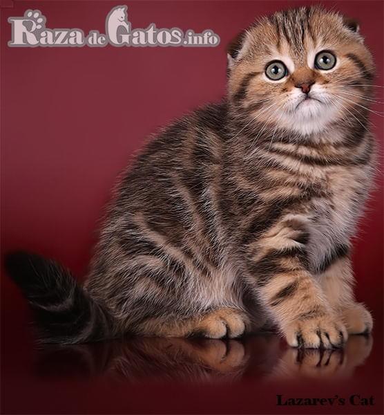 Foto del gato Scottish Fold pequeño. Para gatos exóticos y ráros.