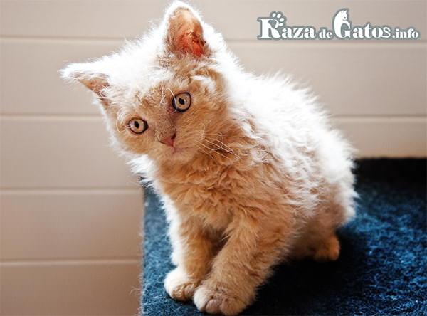 Foto del gato Selkirk rex pequeño. Gatos con pelaje ondulado.