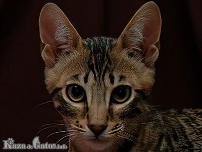 Foto de la cara de una gato de raza Serengeti.