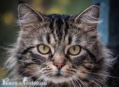 Foto del gato Siberiano.