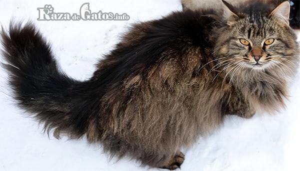 Foto de la Raza de gato Siberiano – Gatos más garndes del mundo.