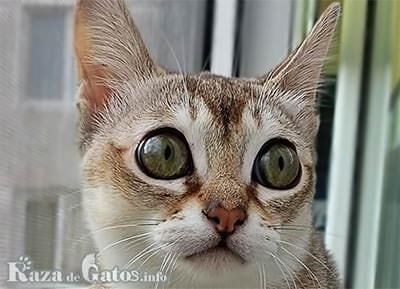 Foto del gato Singapura.