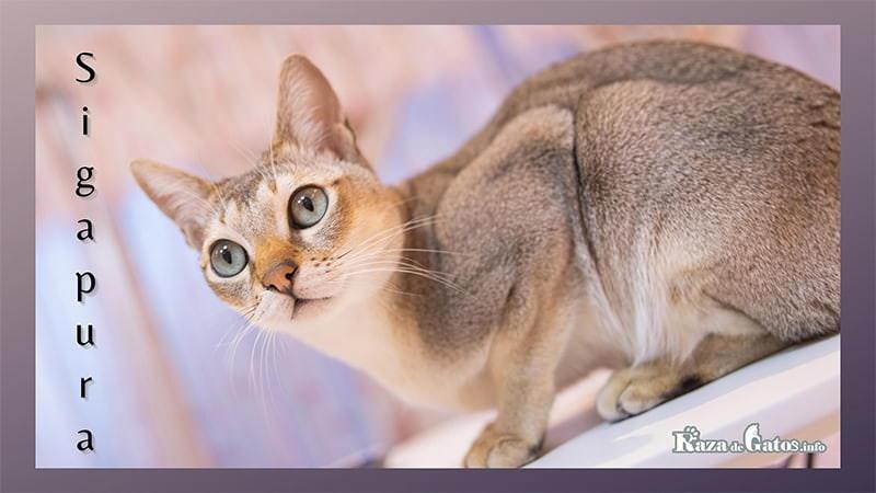 Foto de la Raza de gato Singapura. Gatos más pequeños. Uno de los gatos más chiquitos. (chicos)