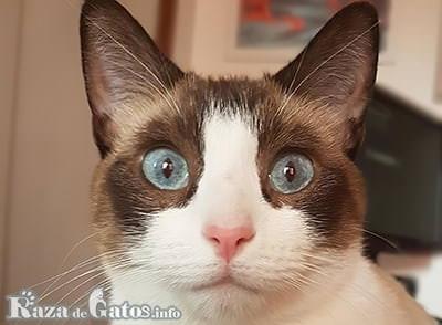 Imágen del gato Snowshoe.