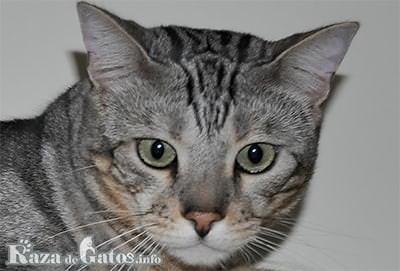 Foto del gato Sokoke.