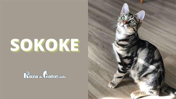 Foto - El gato Sokoke - Razas de gatos con apariencia salvaje