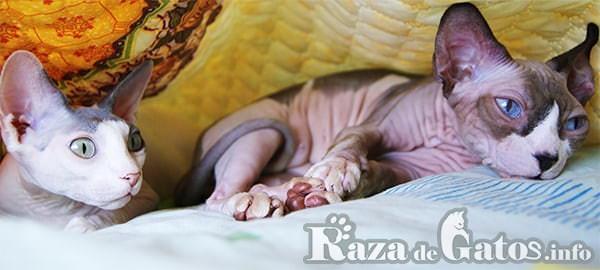 Imágen de Dos gatos sphynx acostados en una cama. 7 curiosidades de los gatos sin pelo.
