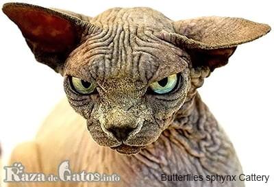 Foto del gato Sphynx o gato Esfinge.