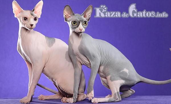 Fotografía de Dos gatos sphynx en cuerpo completo. Gatos sin pelo.