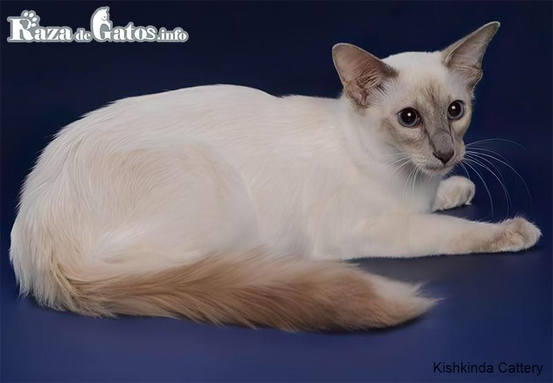 El gato Balinés posando para una foto.