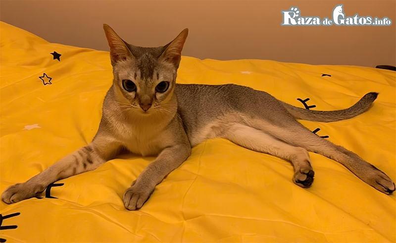 """Foto del Singapura conocido en Singapur como """"Gato de alcantarilla"""" por su pequeño tamaño."""