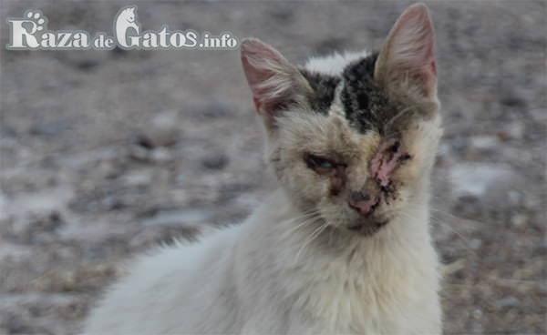 Gato con falta de pelo en la cara por culpa de hongo/tiña. 10 enfermedades en los gatos más comunes.