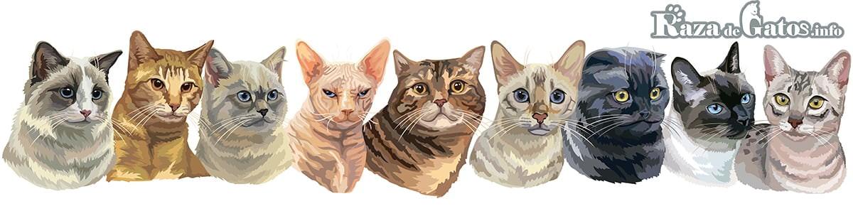 Vector de Gatos: Ragdoll, Pixiebob, Britanico, Sphynx, American shorthair, Cornish Rex, Scottish Fold, Thai, Gato egipcio.