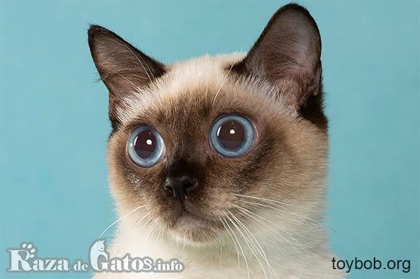 Foto de la cara del gato Toybob.