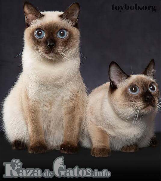 Foto de 2 gatitos Toybob. Imágen para los gatos más raros y exóticos del mundo.