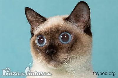 Foto del gato Toybob.