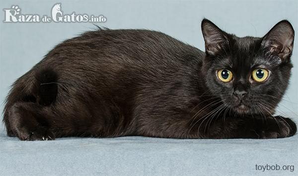 Fotografía de la Raza de gato Toybob. El gato más pequeño del mundo. Top 1 (one)
