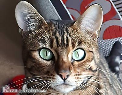 Foto de la cara del gato Toyger