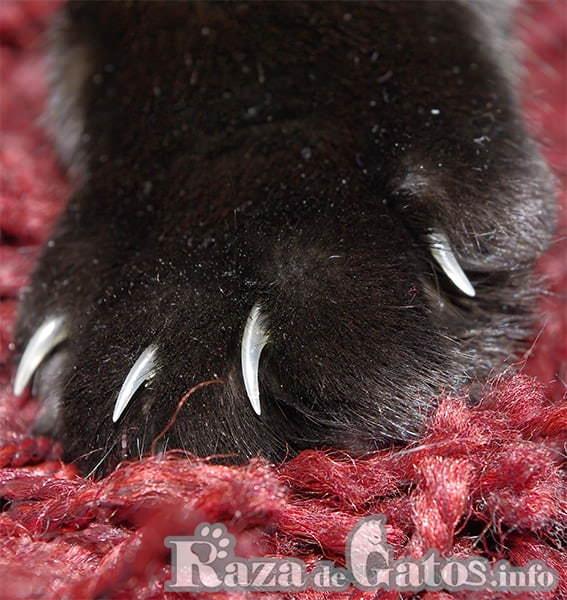 Pata de gato con uñas . Limpieza de las uñas de tu gatito.