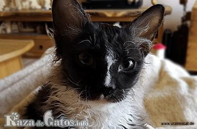 Fotografía del gato Ural Rex.