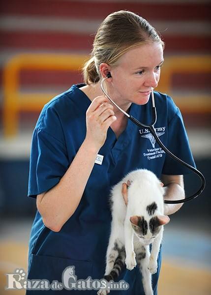 Veterinaria revisando la salud de un gato - razadegatos.info