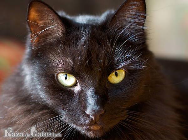 Imágen de la cara del gatito york chocolate, o simplemente gato york.