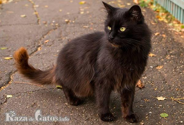 Fotografía de la raza de gatos York Chocolate.